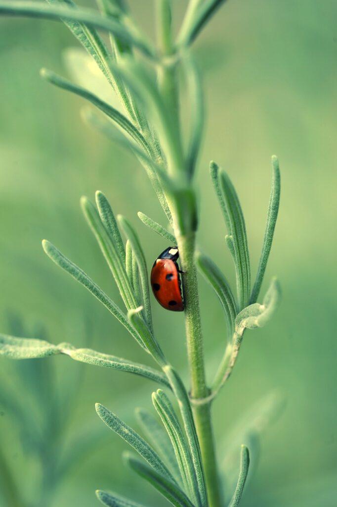 lavender, ladybug, insect