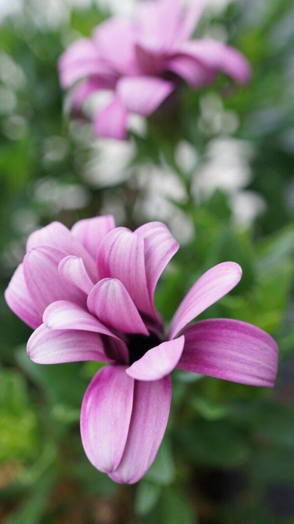petals, flowers, pink
